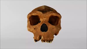 Miniaturansicht - Kabwe-Cranium